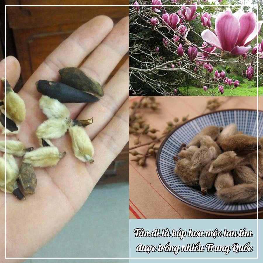 Tân di là búp hoa của cây mộc lan tím, được trồng nhiều ở Trung Quố