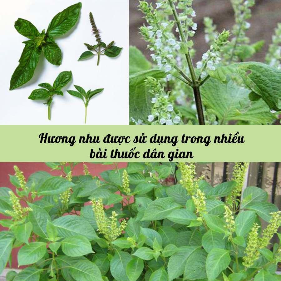 Hương nhu được sử dụng trong nhiều bài thuốc dân gian