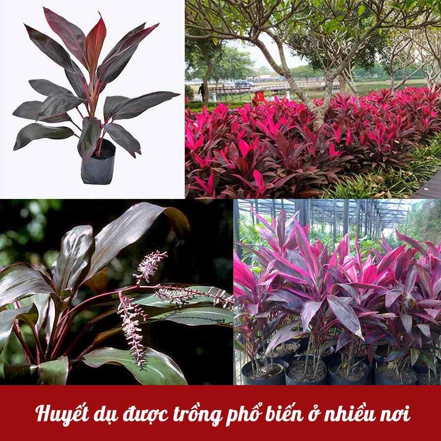 Huyết dụ được trồng phổ biến ở nhiều nơi