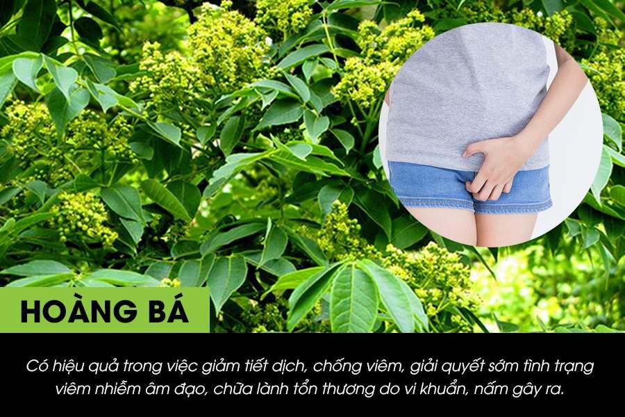 Hoàng bá là cây thuốc nam chữa viêm lộ tuyến cổ tử cung