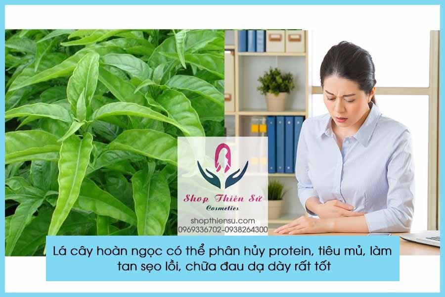 Cây thuốc chữa bệnh đau dạ dày với lá cây hoàn ngọc
